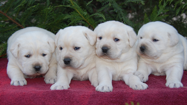 Dry Run Labrador Retrievers And Golden Retrievers Website Quality